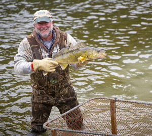 Volunteer Dick Callen hoists a walleye, to be used for spawning, from a holding pen.
