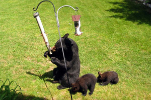 Cutline: Bird feeders are an easy source of food for hungry bears in the spring. Photo courtesy of the Michigan DNR.