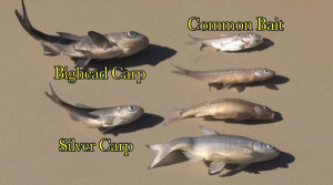 OUT-Monitor-bait-Asian-Carp