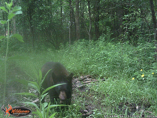 This bear, caught on camera in Algoma Township, is one of two bear sightings in the area in the last two weeks. Photo courtesy Luke Tonneberger.
