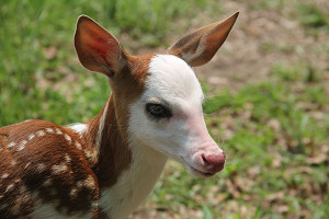 Dragon, a pie-bald deer, was rejected at birth by his mother.