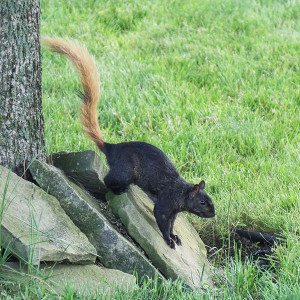 Ron Parker sent us this photo of an unusual looking squirrel.