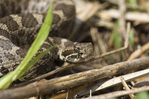 The only venomous snake species found in Michigan, the rare eastern massasauga rattlesnake is shy and avoids humans whenever possible.