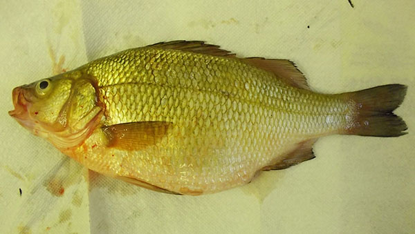 Two state record fish caught in west michigan cedar for White perch fish