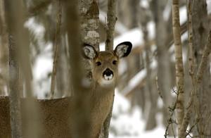 OUT-Deer1