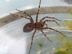N-Spider-Cook