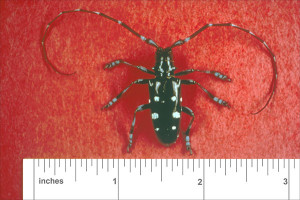 Adult Beetle—Large black beetles with white spots on wing covers; antennae have a white band at the base of each segment. Photo courtesy US Forest Service.