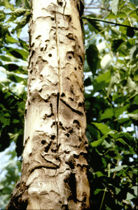 Dead Tree—Box elder killed by Asian Longhorned Beetle (ALB). Bark has fallen off, revealing larval galleries and exit holes. Photo courtesy US Forest Service.