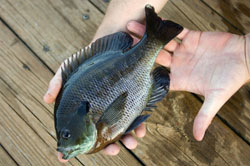 OUT-Fishing-tip-bluegill-edit_original