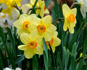 Photo credit: Melinda Myers, LLC. Plant daffodils and other spring flowering bulbs in thefall for extra color next spring.