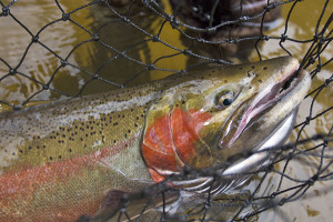 Anglers won't see any changes to chumming or steelhead possession limits as the DNR has decided changes are not needed at this time.