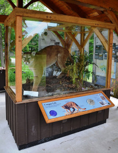 Display: The new mountain lion display at Tahquamenon Falls State Park provides visitors with information on cougars in the Upper Peninsula.