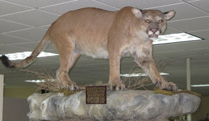 Poached: A mountain lion poached in Schoolcraft County in 2013 is now on display at the Department of Natural Resources customer service center in Newberry.