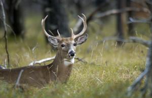 OUT-Deer