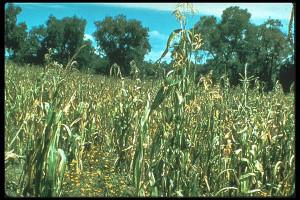 Ancestral perennial corn.