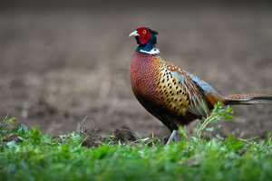 OUT-pheasant