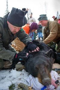 Michigan DNR wildlife biologist Mark Boersen is shown here working with a radio-collared bear. The DNR is asking hunters, trappers and others in the woods this season to keep an eye out for denned bears; that information will help the department with important bear research.