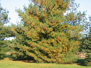 This photo shows normal fall needle drop in a white pine tree. Photo from purdue.edu.