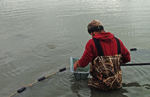 Picking: A worker inspects the contents of a dip net, picking out nontarget minnow species as the crew works a cut off Lake Huron in Michigan's thumb area.