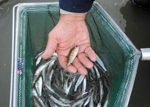 Minnows: A perch is removed from a dip net full of minnows taken from a cut off Saginaw Bay.
