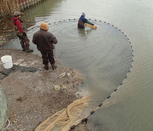 Cut netting: A seine pulled tight to shore that contains minnows for sorting and harvesting. The net had been positioned in a cut off Saginaw Bay.