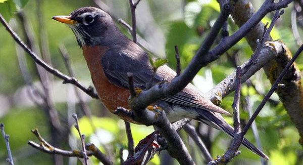 The next time a thundershower approaches, listen for the American Robin's rain song. Photo by US Fish and Wildlife Service, Donna Dewhurst.