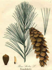 The White Pine tree is the only pine with five needles held together by a tan follicle at the base. Photo from www.bates.edu.
