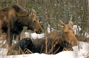 Moose are built for cold conditions, with long legs for deep snow and thick fur coats for winter temperatures.