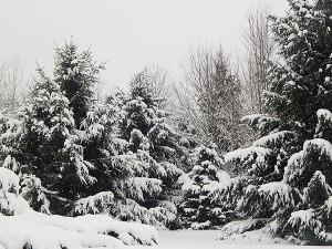 SnowyPines2
