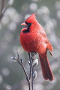 It's time again for the Great Backyard Bird Count. This photo of a male northern cardinal was taken in 2013 by Michele Black of Ohio.