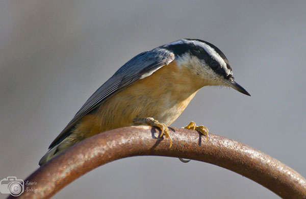 This Red-breasted Nuthatch was a people's choice winner in the birdspotter contest for Project Feederwatch. It was taken by Laurie Salzler, of Ann Arbor, Mich.