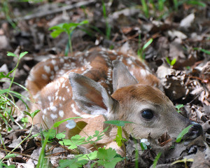 A white-tailed deer fawn waiting for its mother to return. Although fawns may appear to have been abandoned, that's rarely the case, and leaving them alone will help them survive.