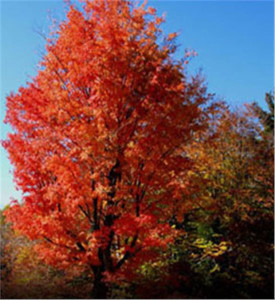 _OUT-Arbor-Day-Red-Maple_Web