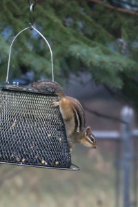 OUT-Feeding-more2-chipmunk