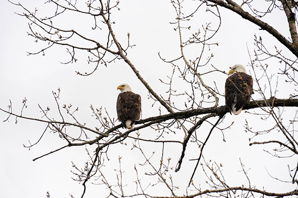 Tim Hindenach sent in this photo of the eagles at Pine Lake.