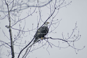 Randy Johnson snapped this shot of an eagle at Sand Lake