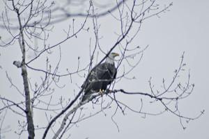 Randy Johnson snapped this shot of an eagle at Sand Lake