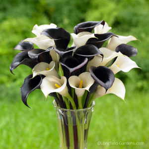 Calla lilies, like 'Night Cap' with its black flowers and the white blooms of 'Crystal Clear,' are spring planted bulbs that thrive in full sun or part shade and can be cut to create an elegant display indoors. Photo credit: Longfield Gardens