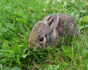 Baby rabbits are among the young wildlife often encountered by those getting out in nature. Photo Credit: Michigan Department of Natural Resources.