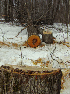 Cut: A close view of one of the maple tree cuttings.