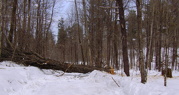 Timber: One of the felled maple trees cut down with the bottom section removed. Credit: Michigan Department of Natural Resources.