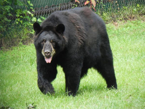 Black bear attacks on humans are highly unusual, according to the Michigan DNR, but can occur if a sow is protecting her cubs.