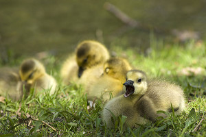 Goslings: Goslings are a common sight in Michigan in the spring.