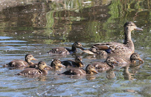 Mallard brood: A mother duck will lead her ducklings to water shortly after they hatch.