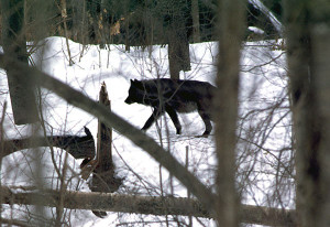 A wolf is shown in the Upper Peninsula woodlands. The DNR's latest survey has shown no significant change in Michigan's wolf population.