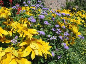 SPR-Low-maintenance-flower-Ageratum