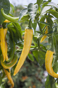 Golden cayenne peppers are hot with a Scoville heat level of 30,000 to 50,000. Photo credit: courtesy of Bonnie Plants