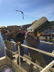 As an angry adult falcon swoops in, from left, DNR wildlife technicians Caleb Eckloff and Brad Johnson and DNR biologist John Depue work to remove peregrine falcon chicks from a nest box on the Portage Lake Lift Bridge on June 17. (MDOT photo)