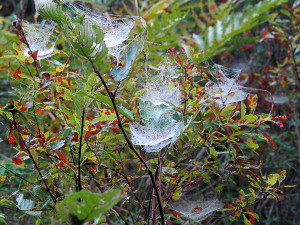 Several bowl and doily spider's webs wet with dew, on a trail in the Adirondacks, between Long Pond and Bessie Pond, St. Regis Canoe Area. By Marc Wanner