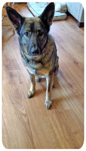 Gage, a six-year-old friendly German Shepherd, was shot in the face and killed last week in Nelson Township.